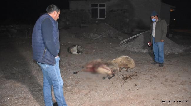 Kars'ta kurtlar sürüye saldırdı