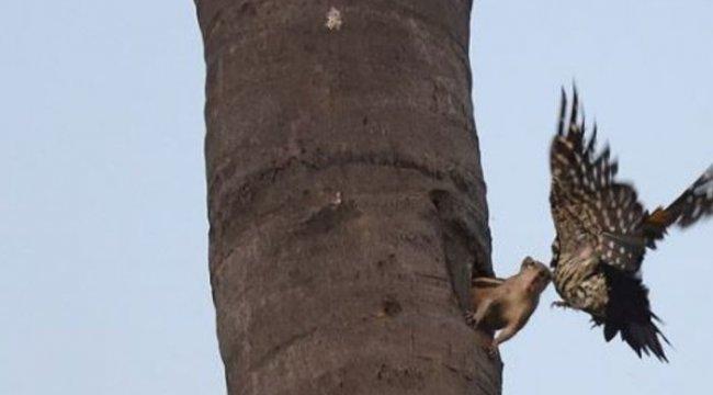 Sincap ile ağaçkakanın kavga anı böyle görüntülendi