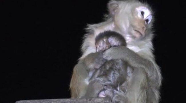 Tayland'da festivalde atılan havai fişekler maymunları korkuttu