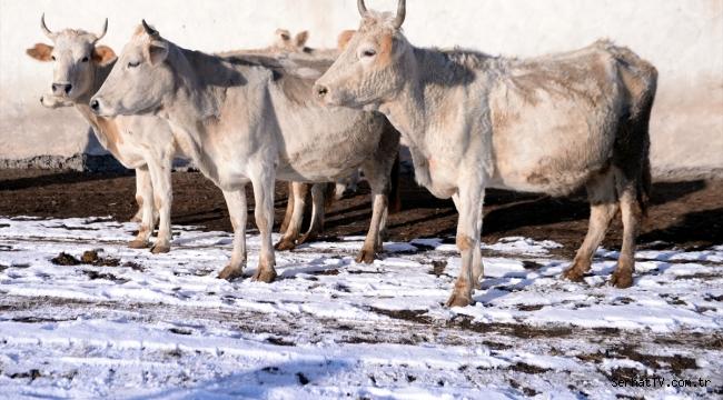 Zavot sığırı'nın sayısı devlet desteğiyle arttı