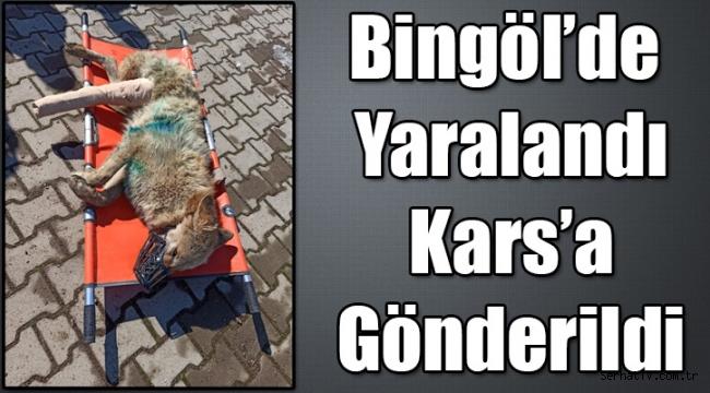 Bingöl'de yaralı bulunan kurt, tedavisi için Kars'a gönderildi