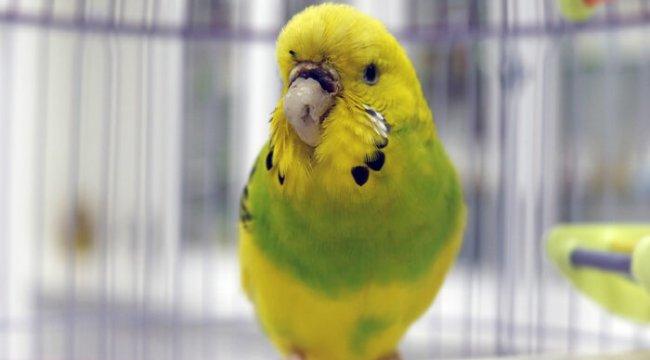 Türkiye'de bir ilk! Antalya'da muhabbet kuşu 'Cevriye'ye, diş protezinden gaga