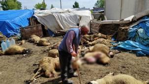 Kars'ta aç kurtlar saldırdı 25 koyun telef oldu