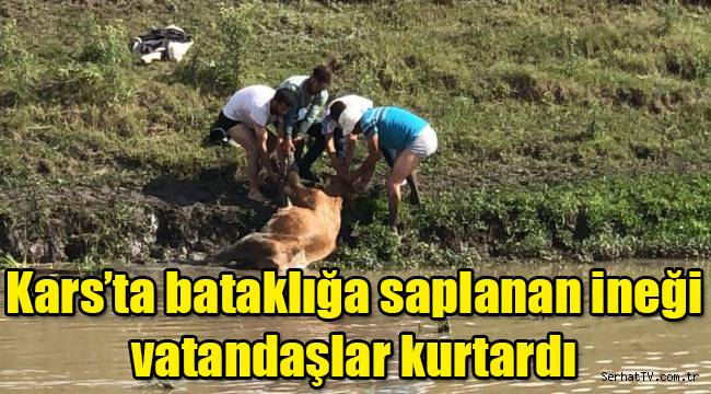 Kars'ta bataklığa saplanan ineği vatandaşlar kurtardı