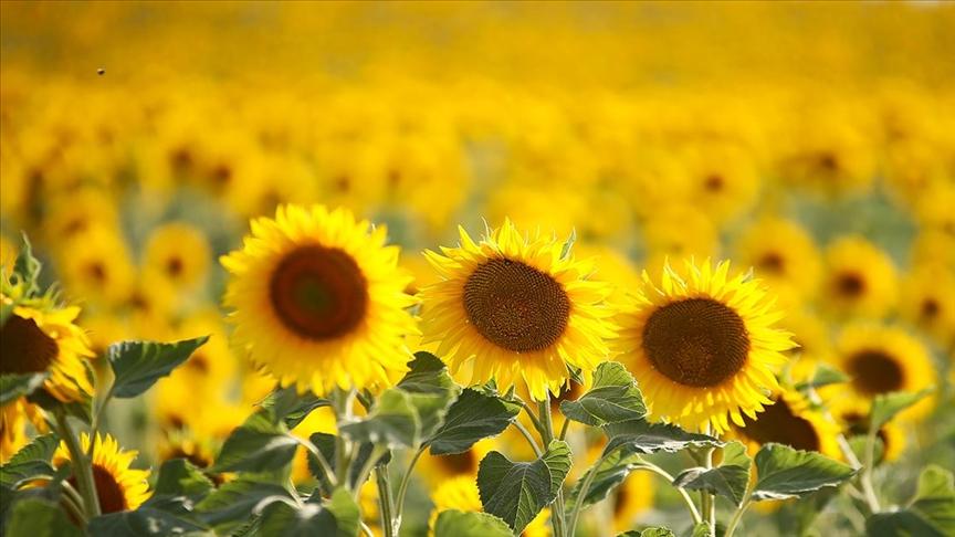 Ayçiçeği tohumundan 30 Haziran'dan sonradan da gümrük vergisi alınmayacak